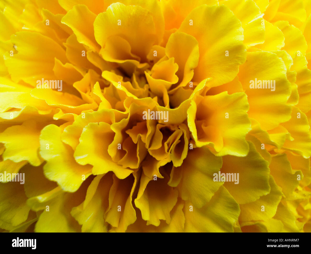 Close up of the yellow carnation flower dianthus caryophyllus stock close up of the yellow carnation flower dianthus caryophyllus mightylinksfo