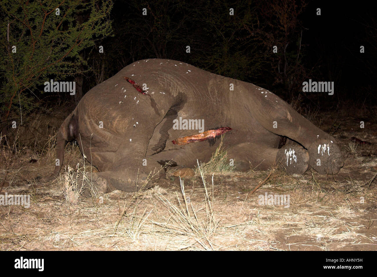 Dead African elephant with tusks removed - Stock Image