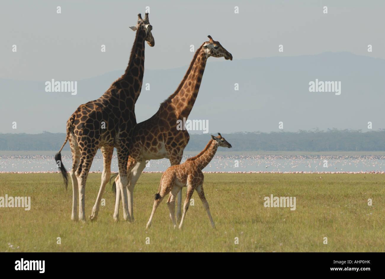 Three 3 Rothschild s Giraffe near the shore of Lake Nakuru Lake Nakuru National Park Kenya East Africa - Stock Image