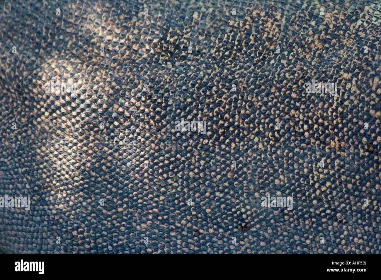 Closeup Texture Komodo Dragon Skin - Stock Image