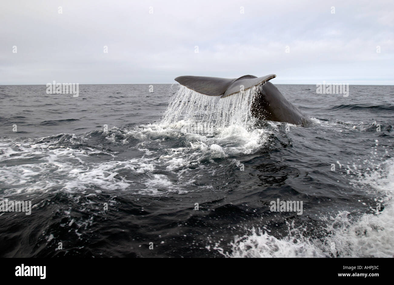 Whale Tail, Sperm Whale diving deep in Trinity Bay Bonavista Peninsula Newfoundland Canada - Stock Image