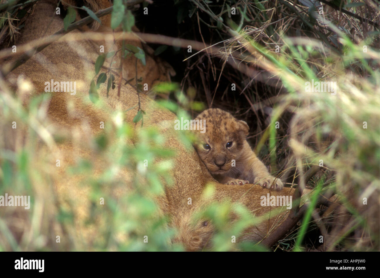 Glimpse of a tiny newly born lion cub only a few hours old Masai Mara National Reserve Kenya East Africa - Stock Image