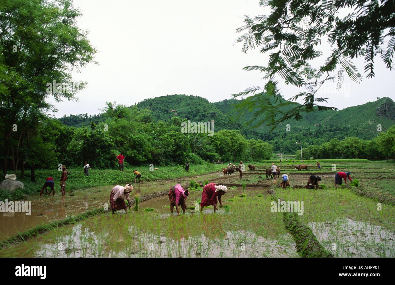 Transplanting rice seedlings. Nepal - Stock Image
