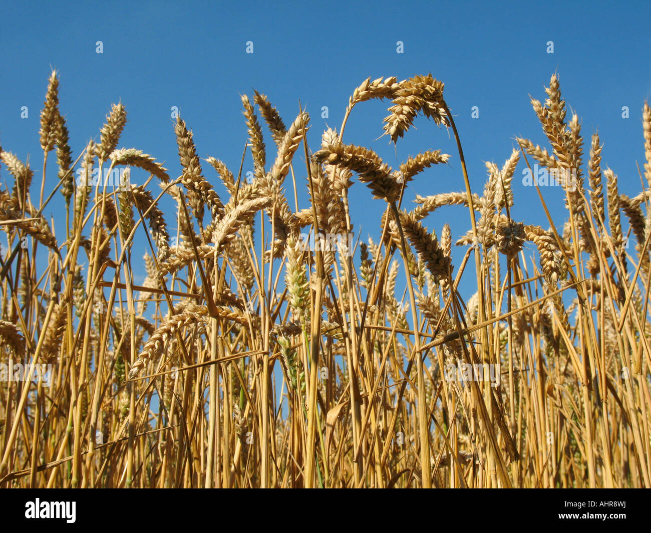 Wheat ripening in the sun - Stock Image
