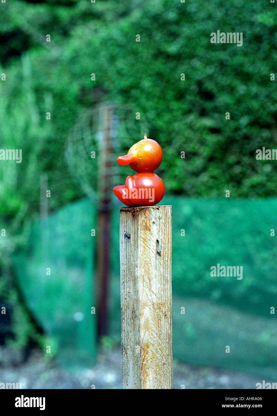 TOMATO MAN SITTING ON POST IN GARDEN HEALTH AND FIT FOR EATING - Stock Image