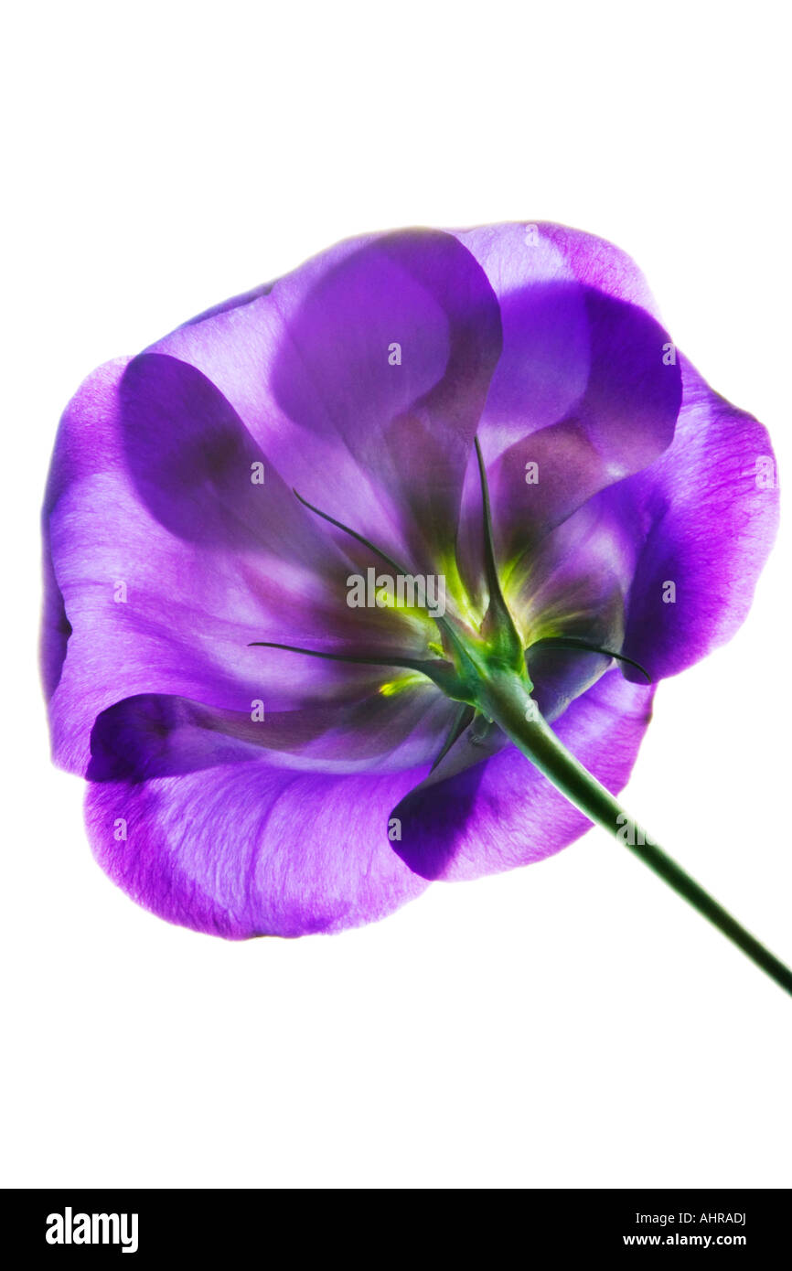 Purple Lisianthus - Stock Image