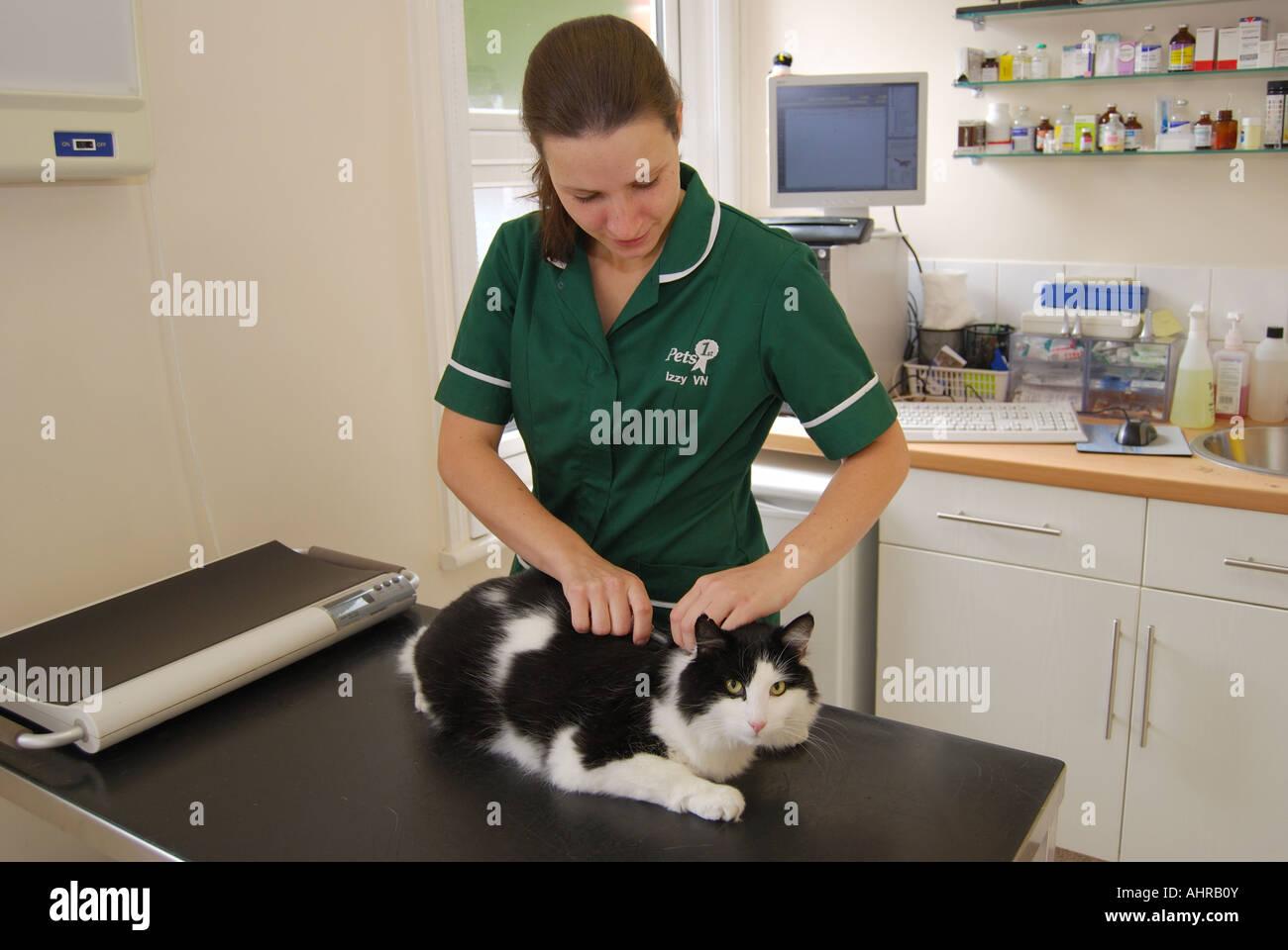 Female vet giving cat injection in Veterinary Clinic, Sunninghill, Berkshire, England, United Kingdom - Stock Image