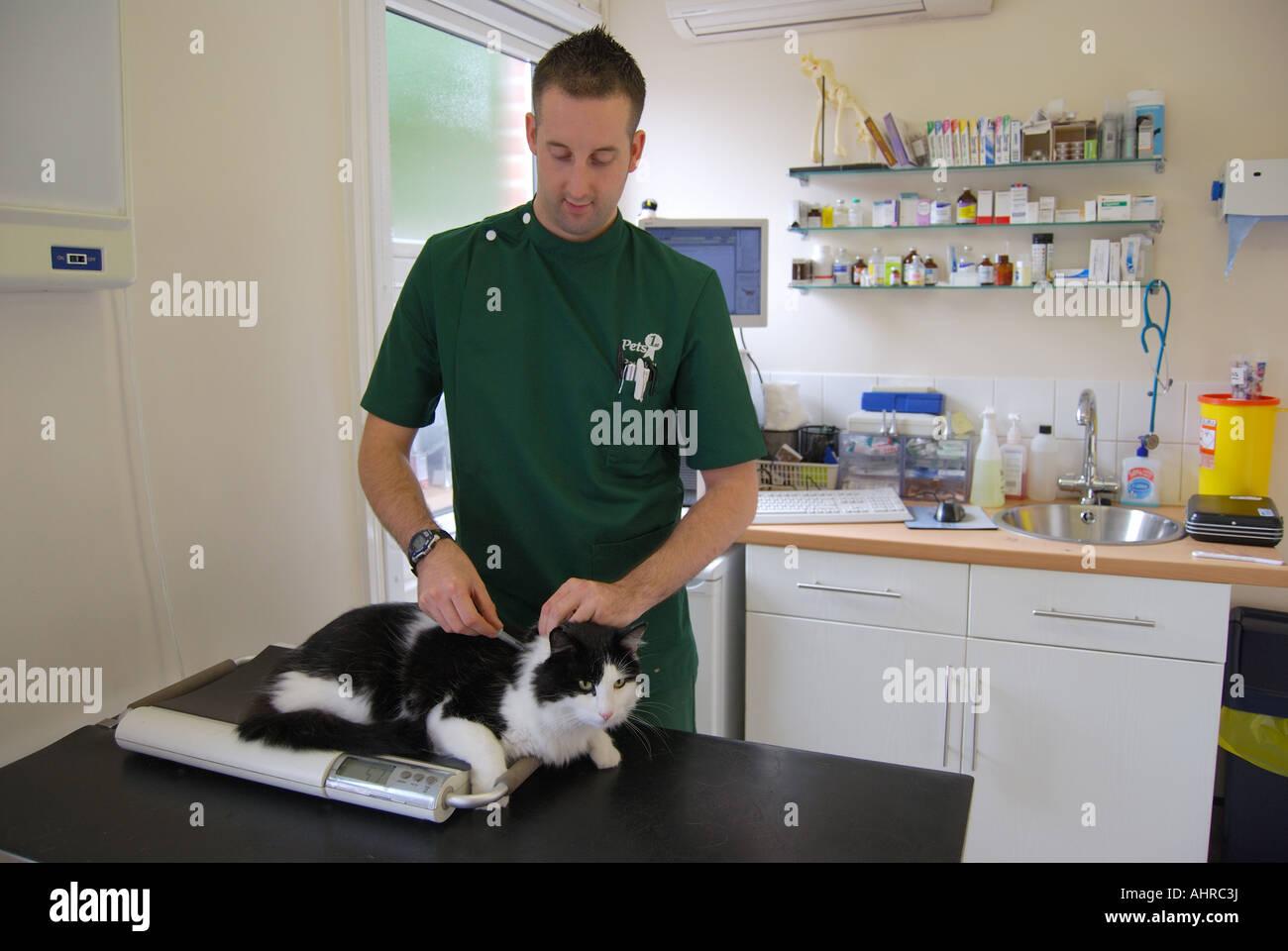 Male vet examining cat in Veterinary Clinic,Sunninghill, Berkshire, England, United Kingdom - Stock Image