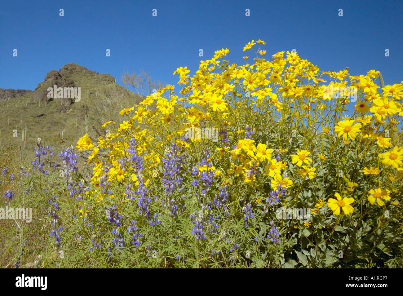Yellow And Purple Desert Flowers Blossoming In Spring At Picacho