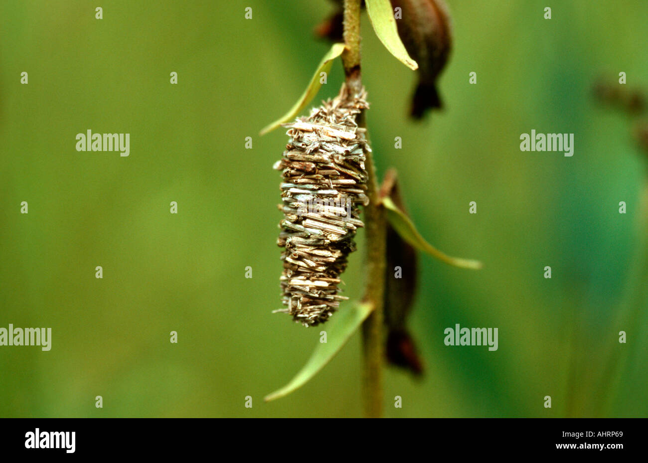 Bagworm Moth Larval And Pupal Cocoon Made Of Sticks Bavaria Germany
