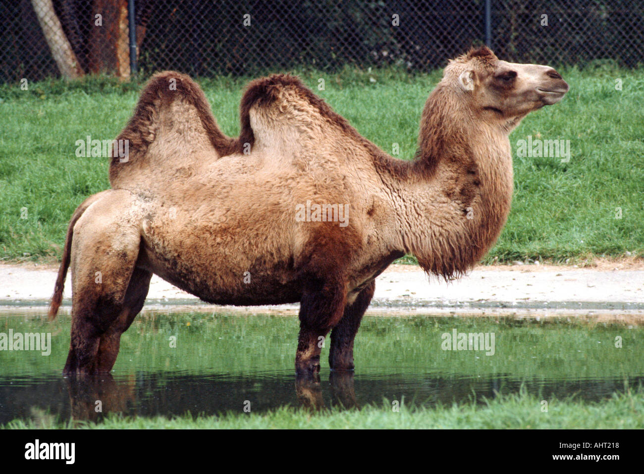Camel With Two 2 Humps