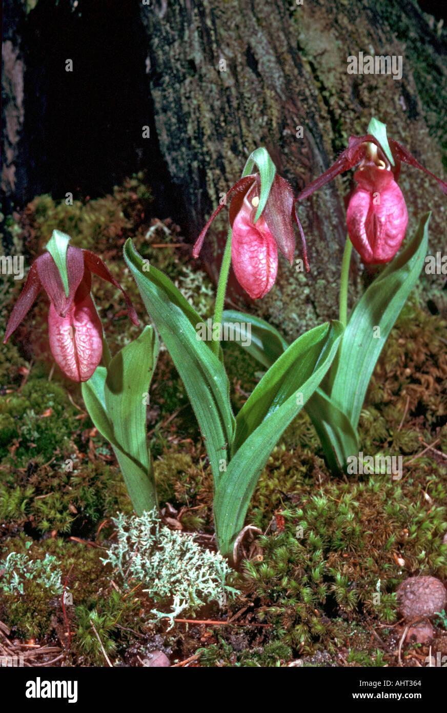 Michigan wild flower a trio of pink lady slippers stock photo michigan wild flower a trio of pink lady slippers mightylinksfo