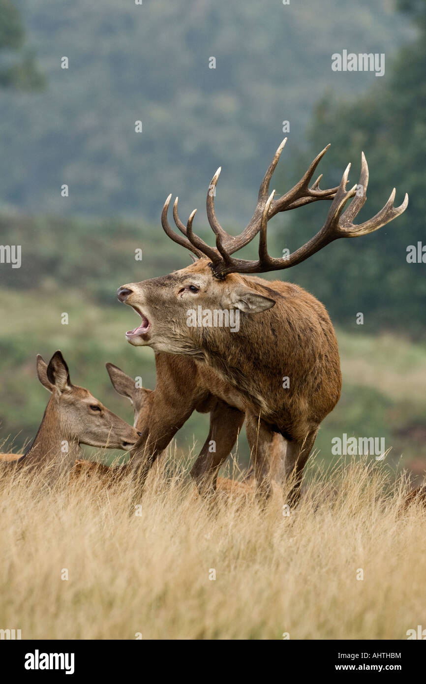 Red deer Cervus elaphus stag with hinds roaring in the rutting season Richmond park London - Stock Image