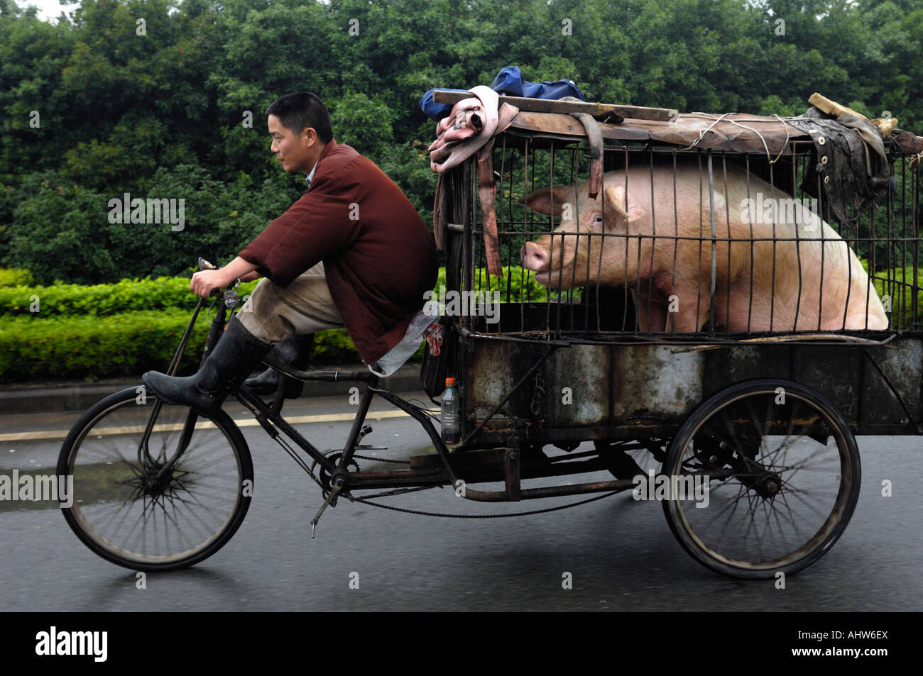 A chinese man rides a tricycle with a pig for mating on a highway in Ningbo, Zhejiang province, China. 14 Jun 2006 - Stock Image