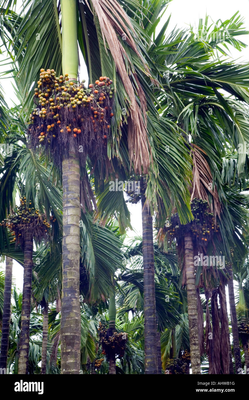 Moist verdant grove of  Betel nut (Areca catechu) tropical palms in uniform rows with clusters of ripening fruit. - Stock Image