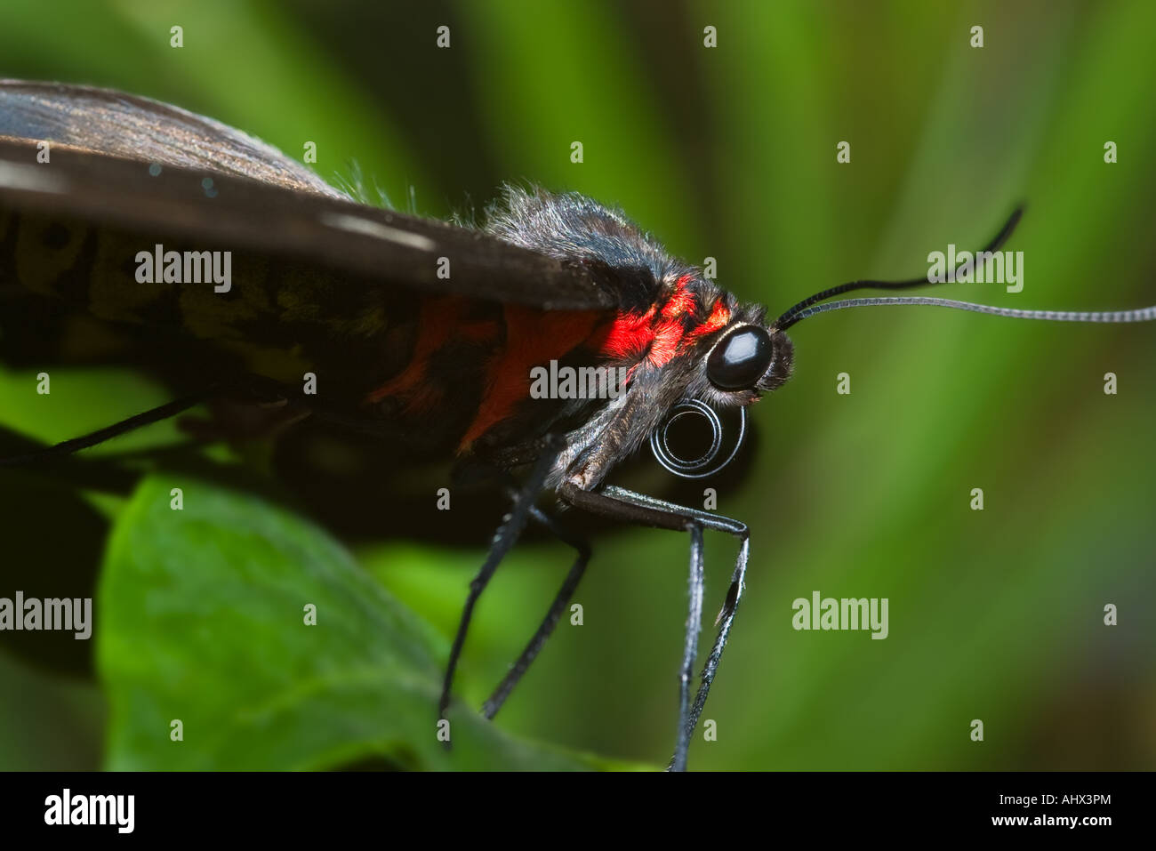 close up macro image of a black and red butterfly - Stock Image