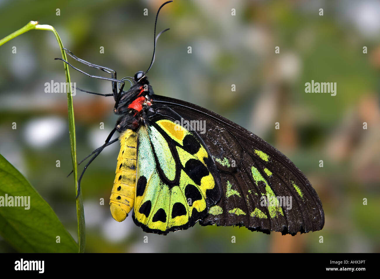 close up image of a green and black butterfly - Stock Image