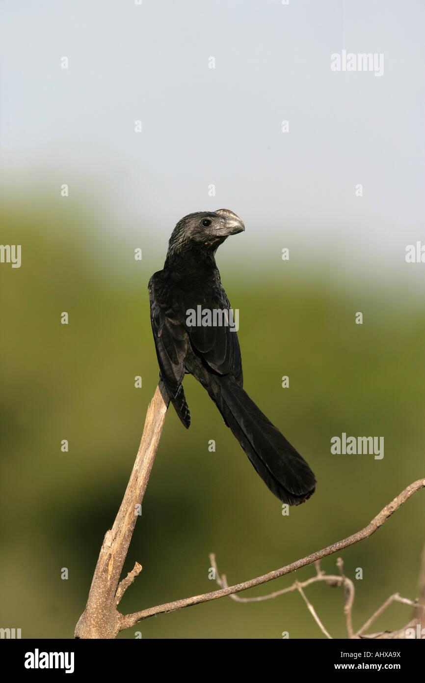 Smooth billed ani Crotophaga ani Brazil - Stock Image