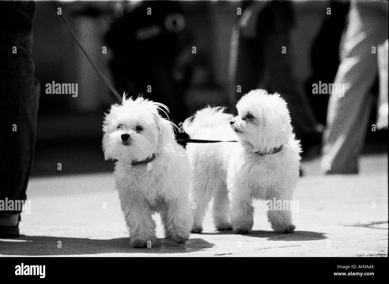 Two Fluffy white dogs at St Tropez in France - Stock Image