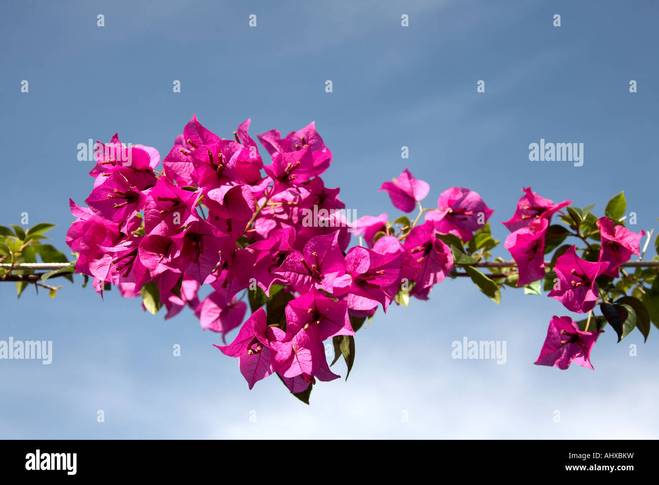 Sculptural contemporary Arbour walkway with bougainvilla or bougainvillea on South Bank in Brisbane Queensland QLD - Stock Image