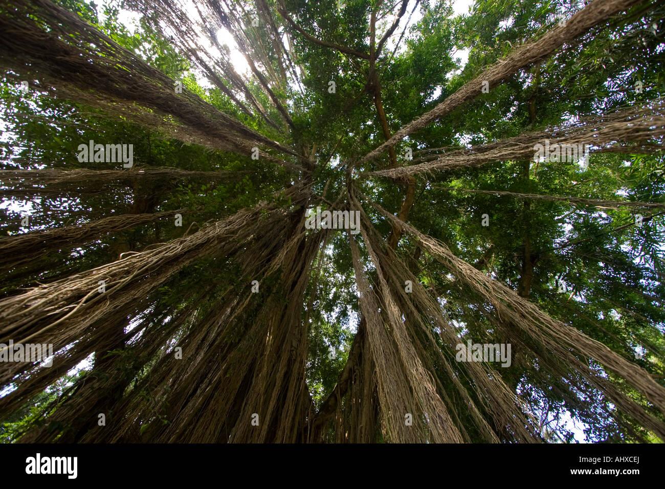 Sun Shining through Hanging Vine Tree Ayung River Gorge Ubud Bali Indonesia - Stock Image