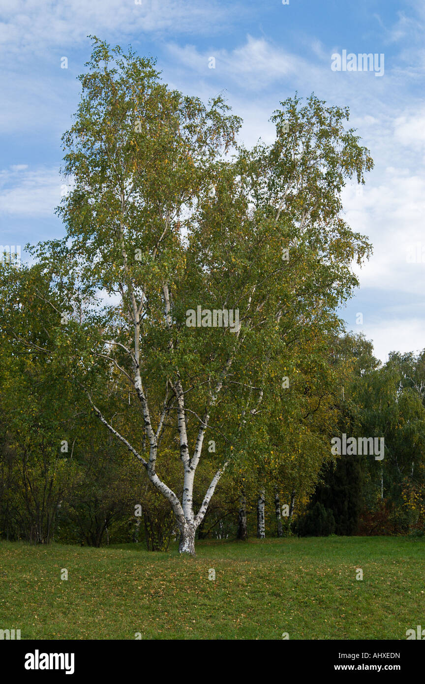 Birch tree on edge of temperate mixed forest in early autumn at afternoon - Stock Image