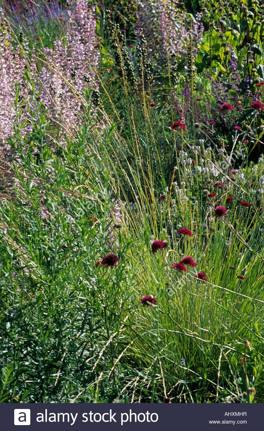 Knautia Macedonica Mass Planting Of Flowering Perennials Ornamental