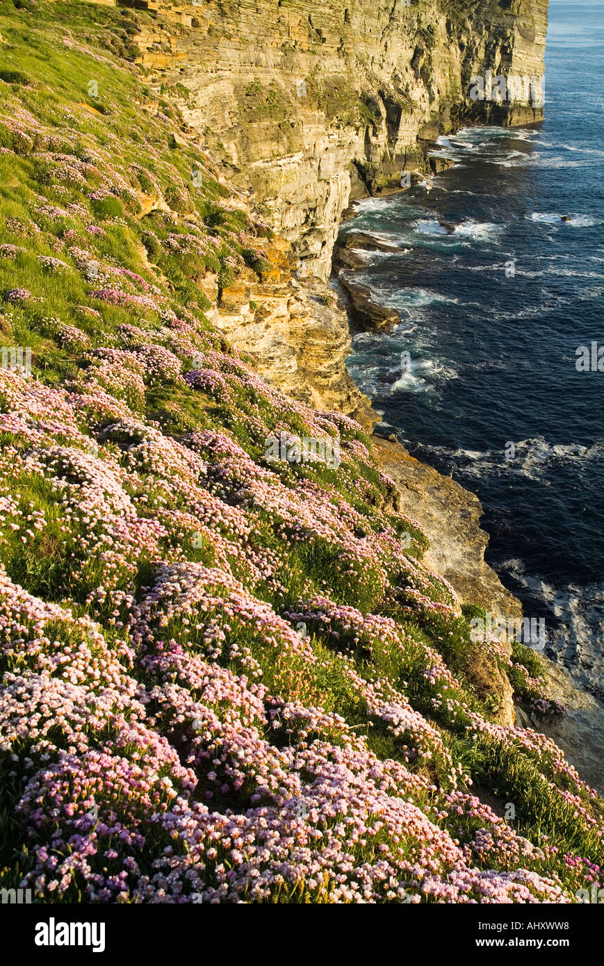dh Marwick Head BIRSAY ORKNEY RSPB Bird Nature reserve Thrift sea pink flowers on seacliff Stock Photo