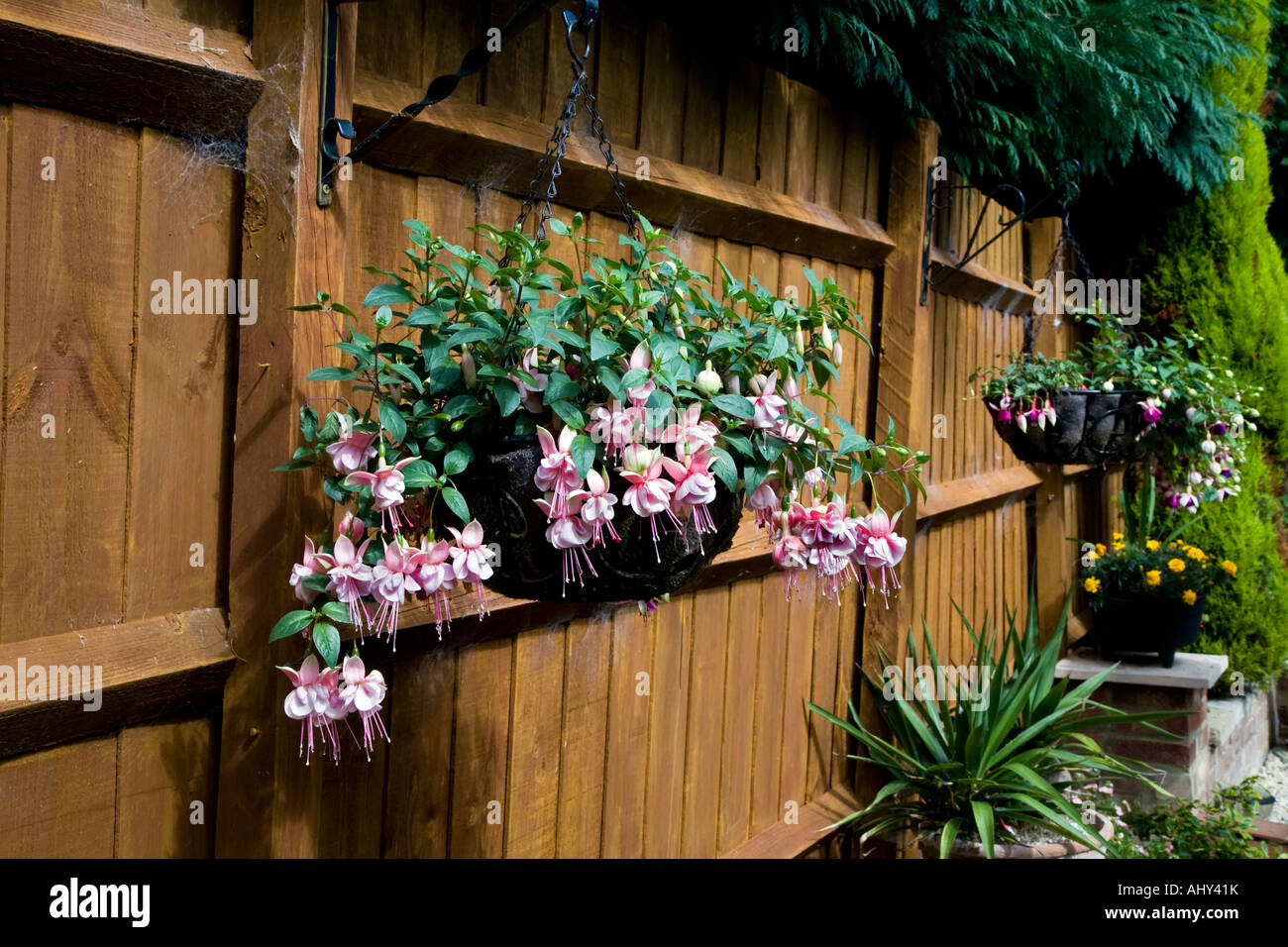 FUCHSIA GROWING IN A HANGING BASKET UP AGAINST A GARDEN FENCE Stock ...