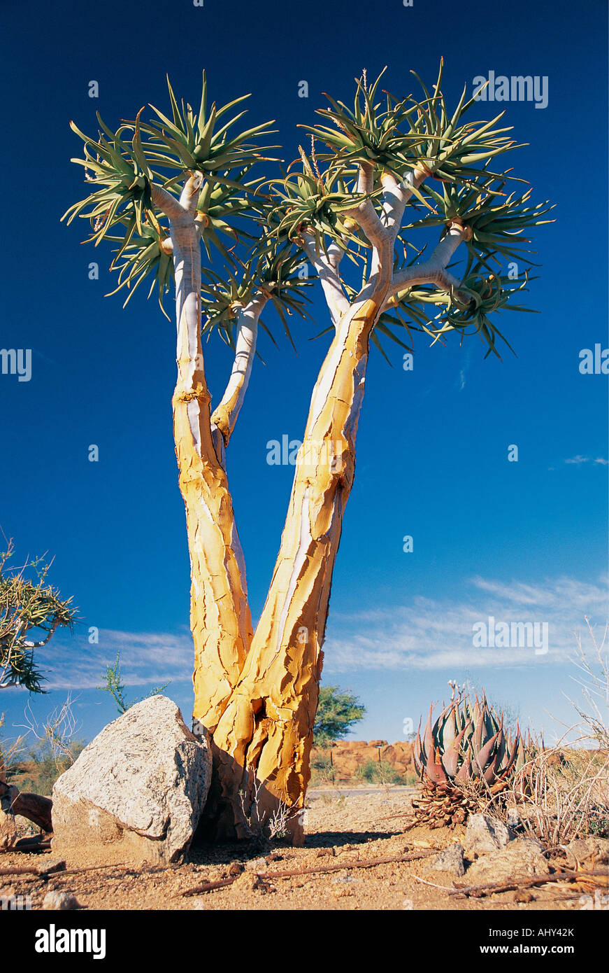 Quiver Tree Aloe Dichotoma Augrabies Falls National Park Northern Cape South Africa - Stock Image