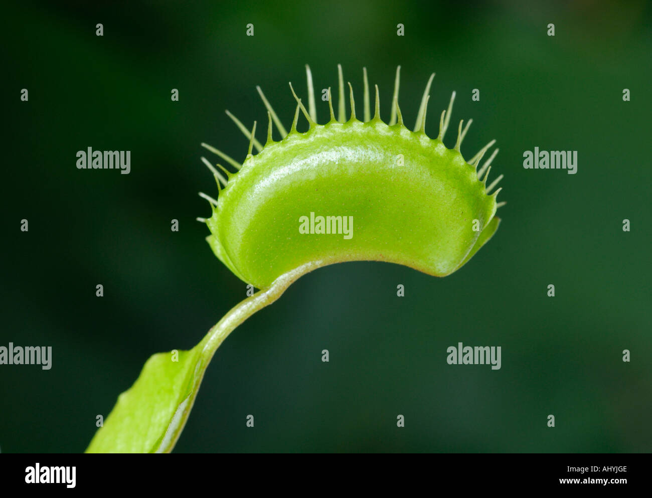 Venus flytrap, Dionaea muscipula - Stock Image