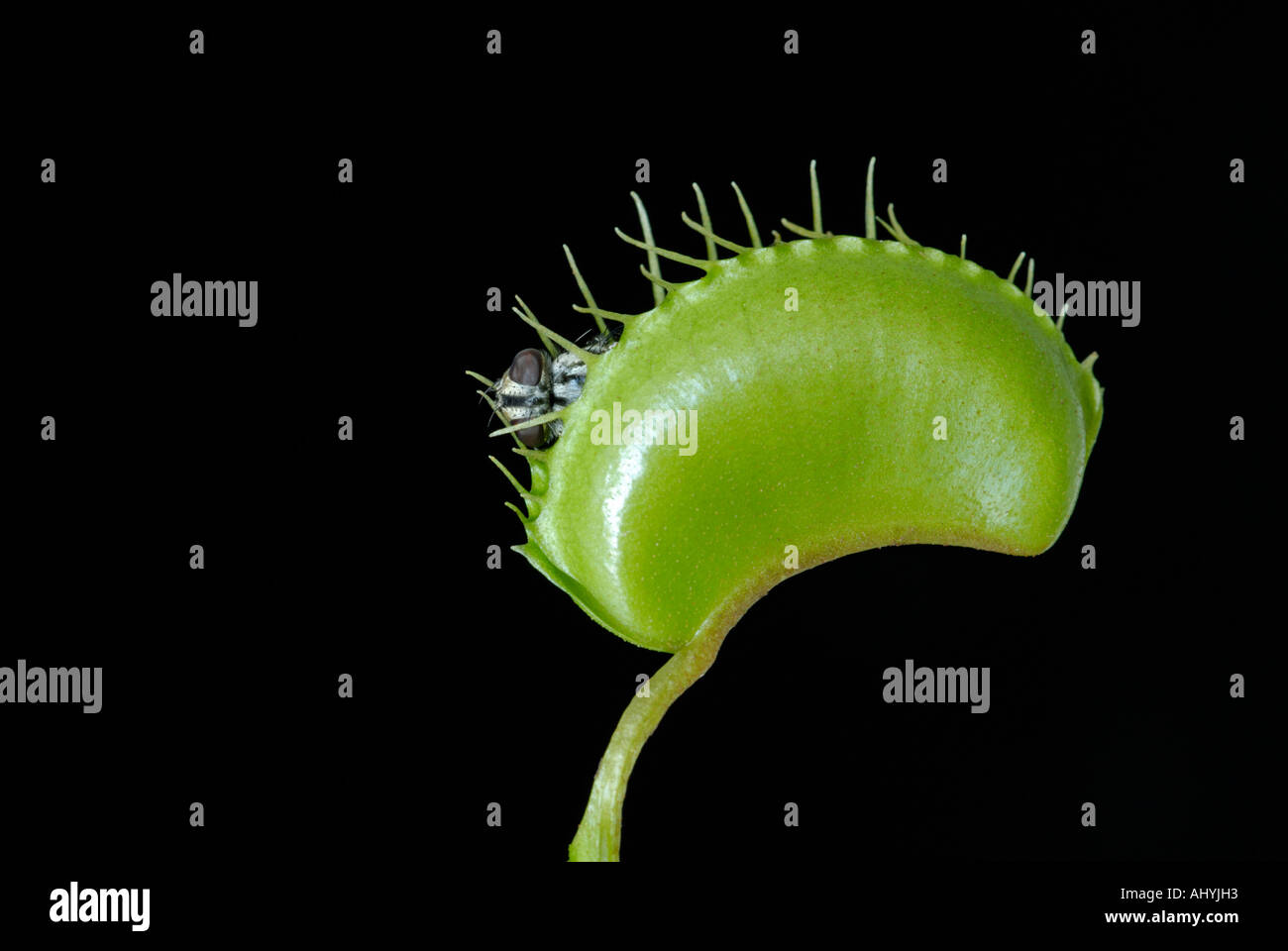 Venus flytrap, Dionaea muscipula, with trapped housefly - Stock Image