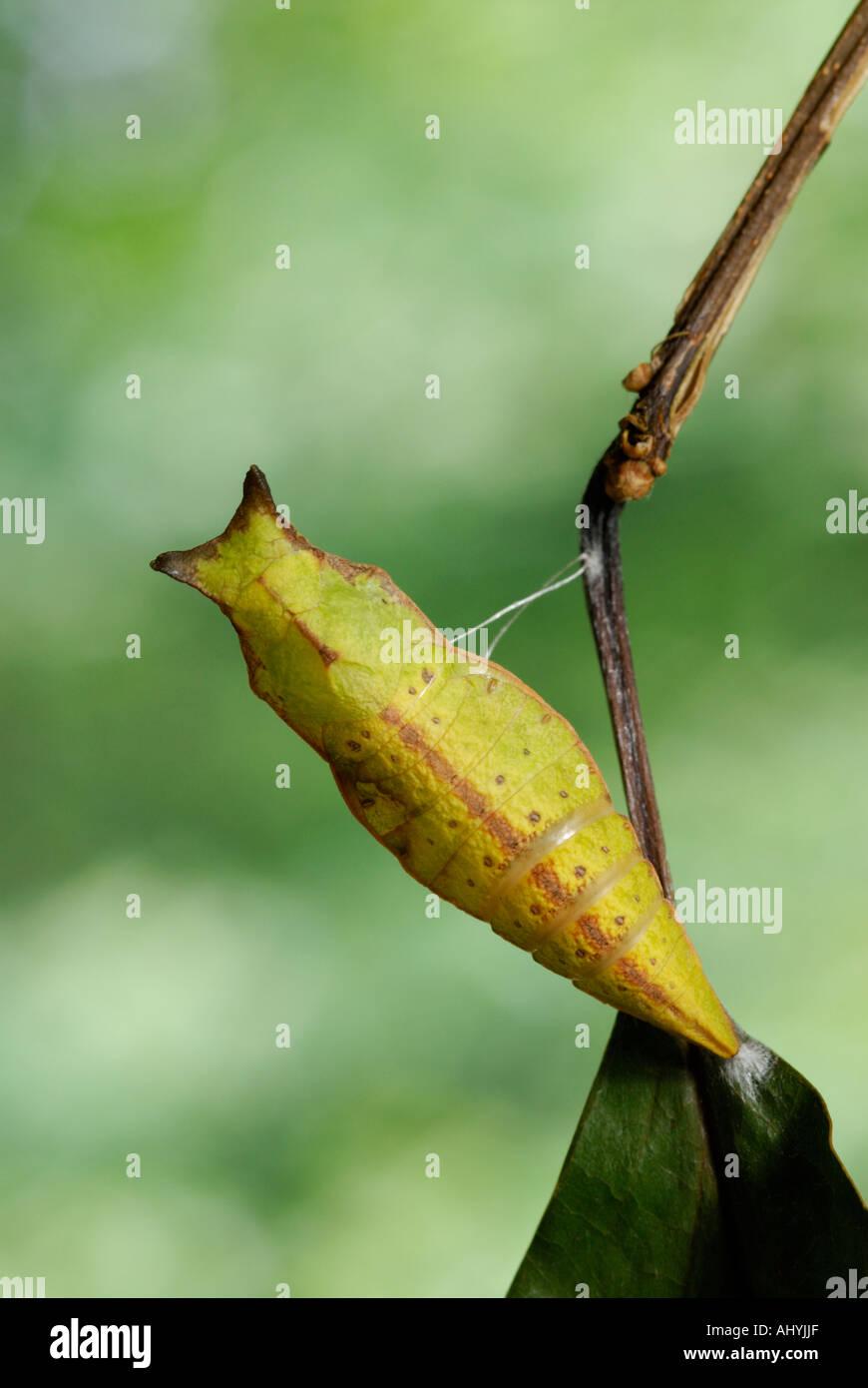 Spicebush swallowtail, Papilio troilus, chrysalis pupa - Stock Image