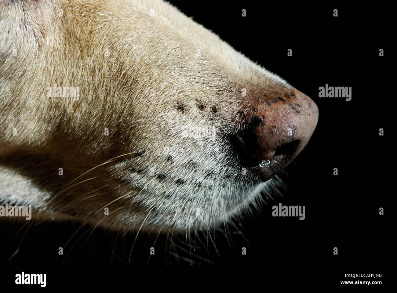 Dog's nose close-up - Stock Image