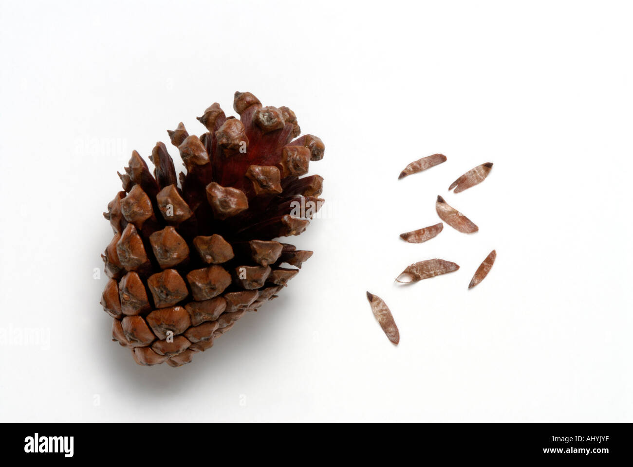 Serotinous pine tree cone with seeds released after heat ...