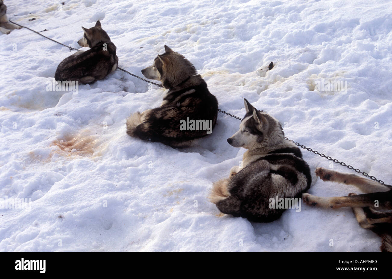 Feeding Husky sled dogs along the Kungsleden trail in Lappland Northern Sweden - Stock Image