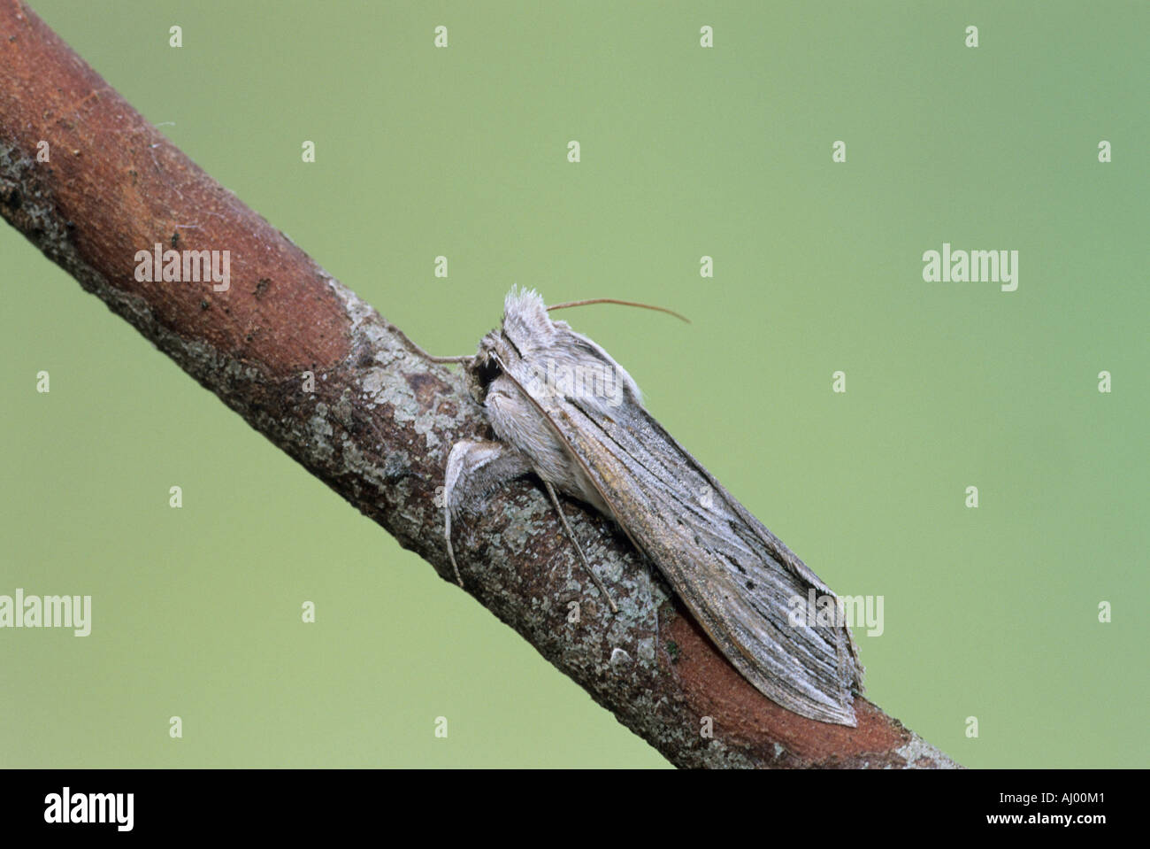 The Shark Moth Cucullia umbratica Essex UK IN000310 - Stock Image