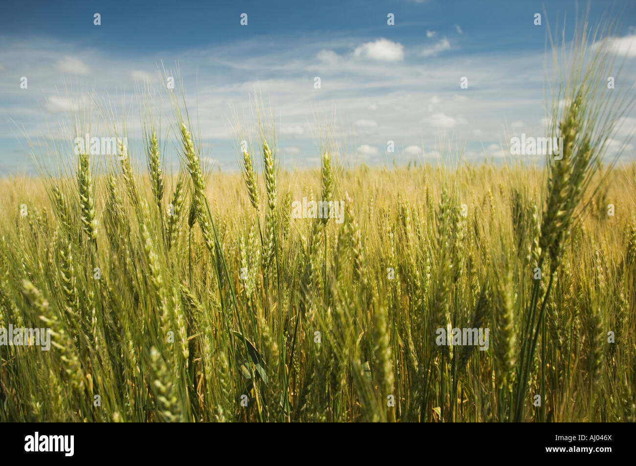 Close up of wheat in field - Stock Image