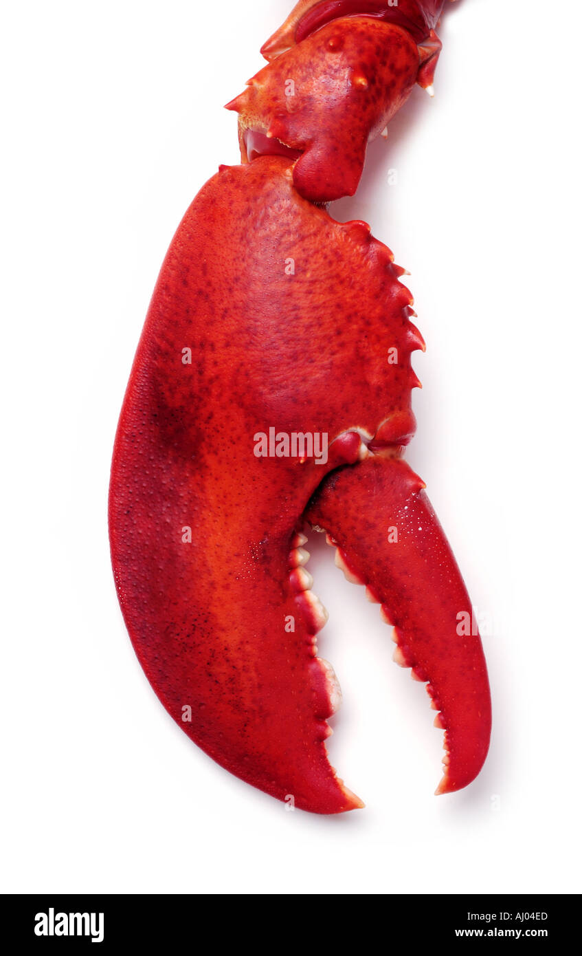 Lobster Claw on White Background - Stock Image