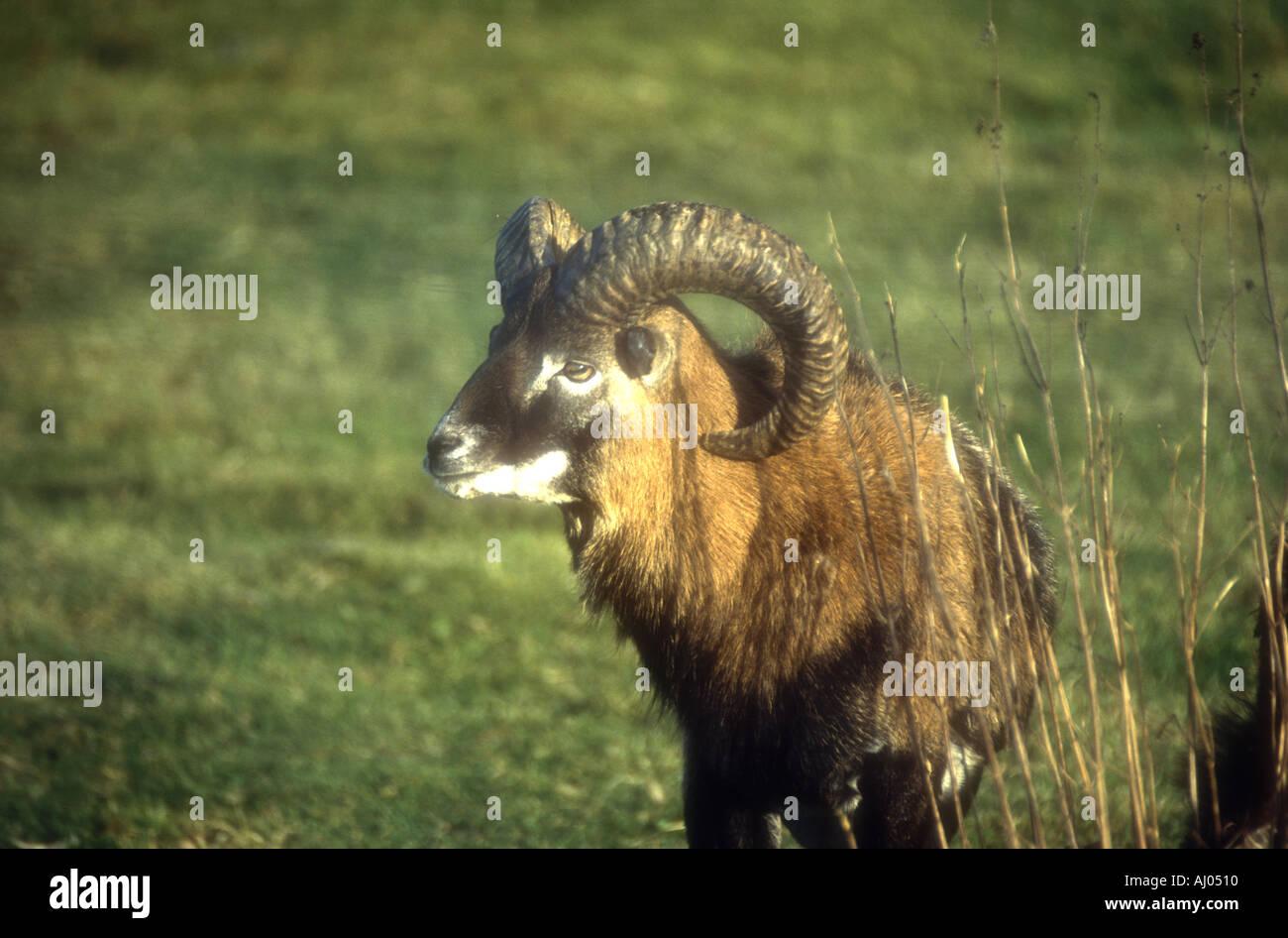 Soay Sheep of St Kilda Scotland - Stock Image