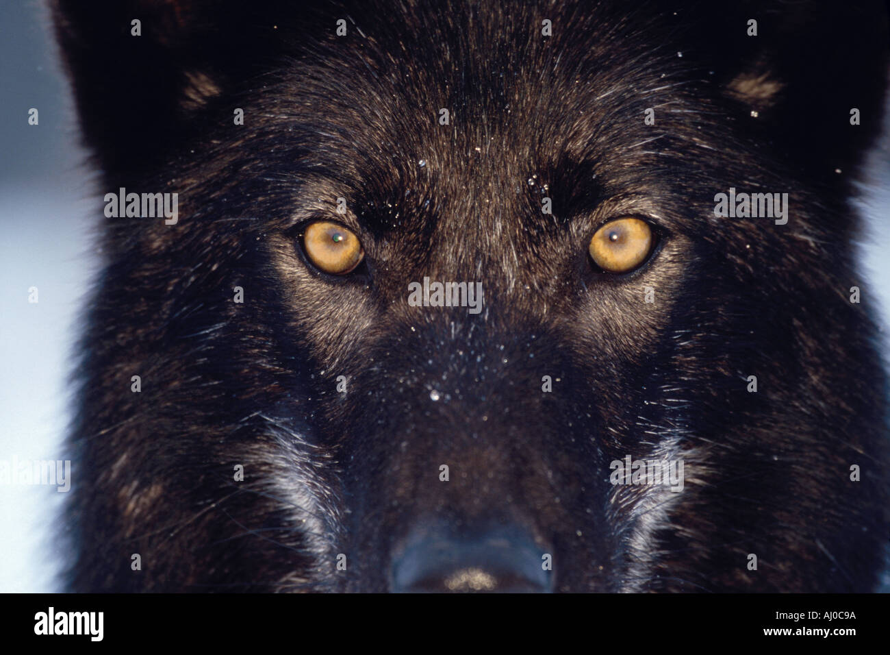 Close Up On The Intense Yellow Eyes Of A Very Dark Colored Gray Wolf Stock Photo Alamy