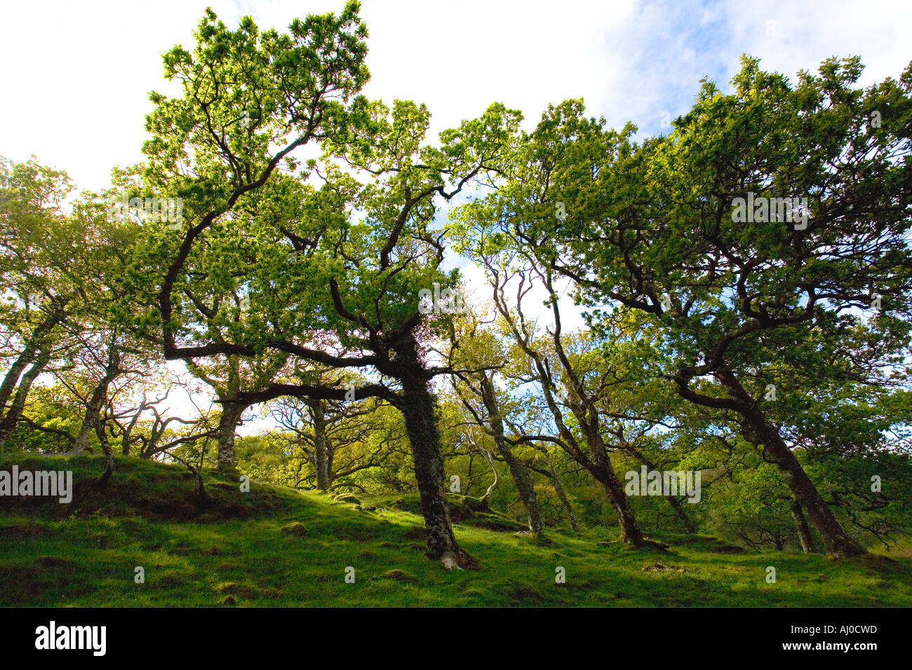 Natural mixed oak woodland near Grass Point Isle of Mull in summer sun sunshine Argyll & Bute Inner Hebrides Scotland UK United - Stock Image