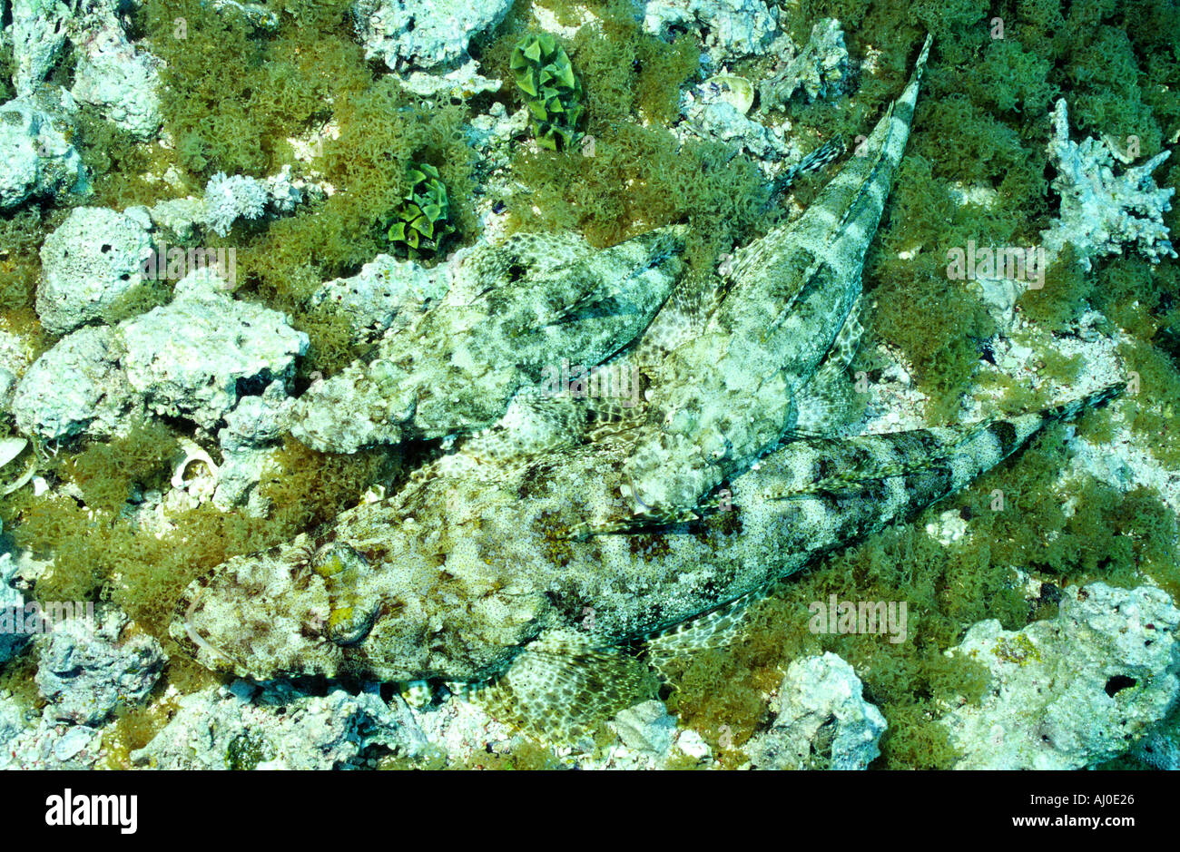 Crocodile fish in the wild. - Stock Image