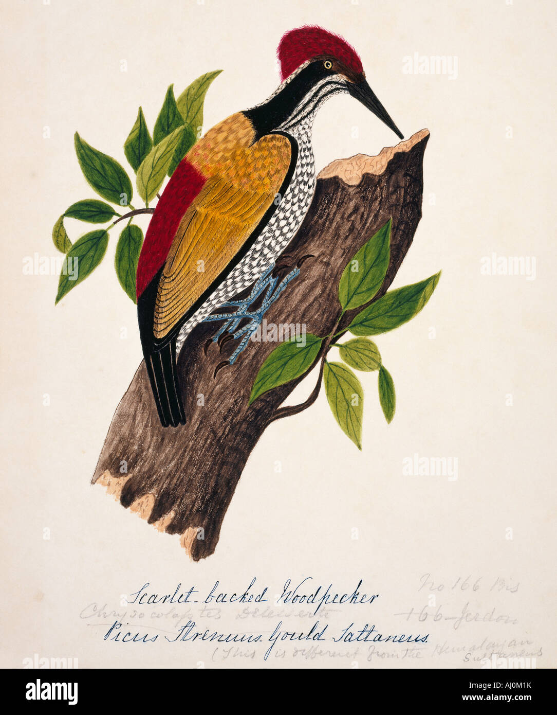 Chrysocolaptes lucidus, greater flame-backed woodpecker - Stock Image