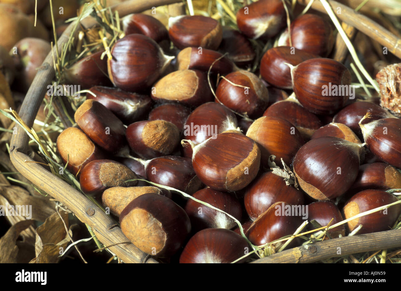Colossal chestnut Italy - Stock Image