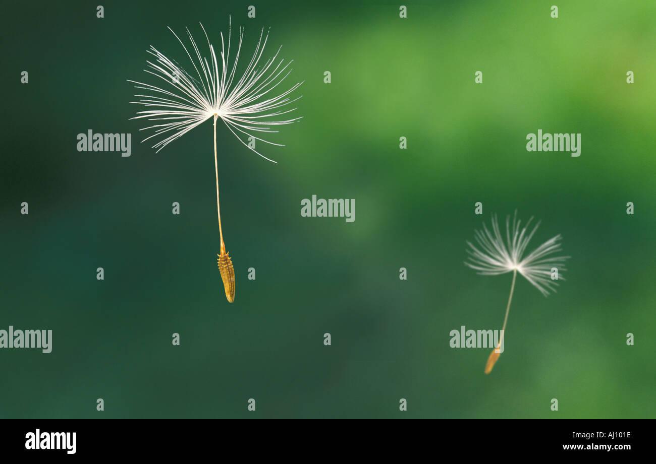 dandelion seed green meadow landscape - Stock Image
