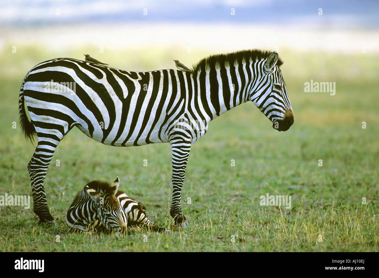 Burchell s Zebra Foal Fohlen Equus burchellii Masai Mara Kenia Afrika - Stock Image