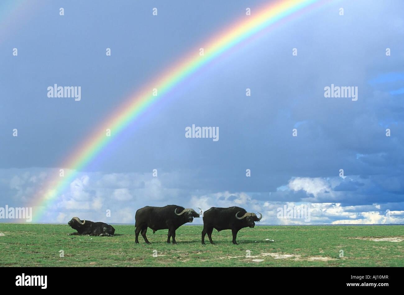 Afrikanischer Bueffel Kaffernbueffel African Buffalo Syncerus caffer Amboseli NP Kenia Afrika - Stock Image