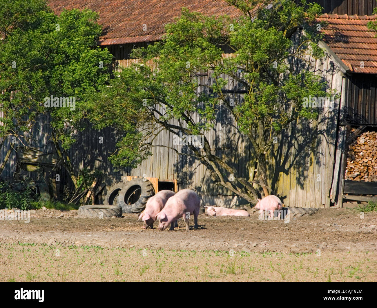 Lucky Bavarian Pig Swine Hog Pork Outdoor Outside German Bavaria Sucking Cage Stable Barn