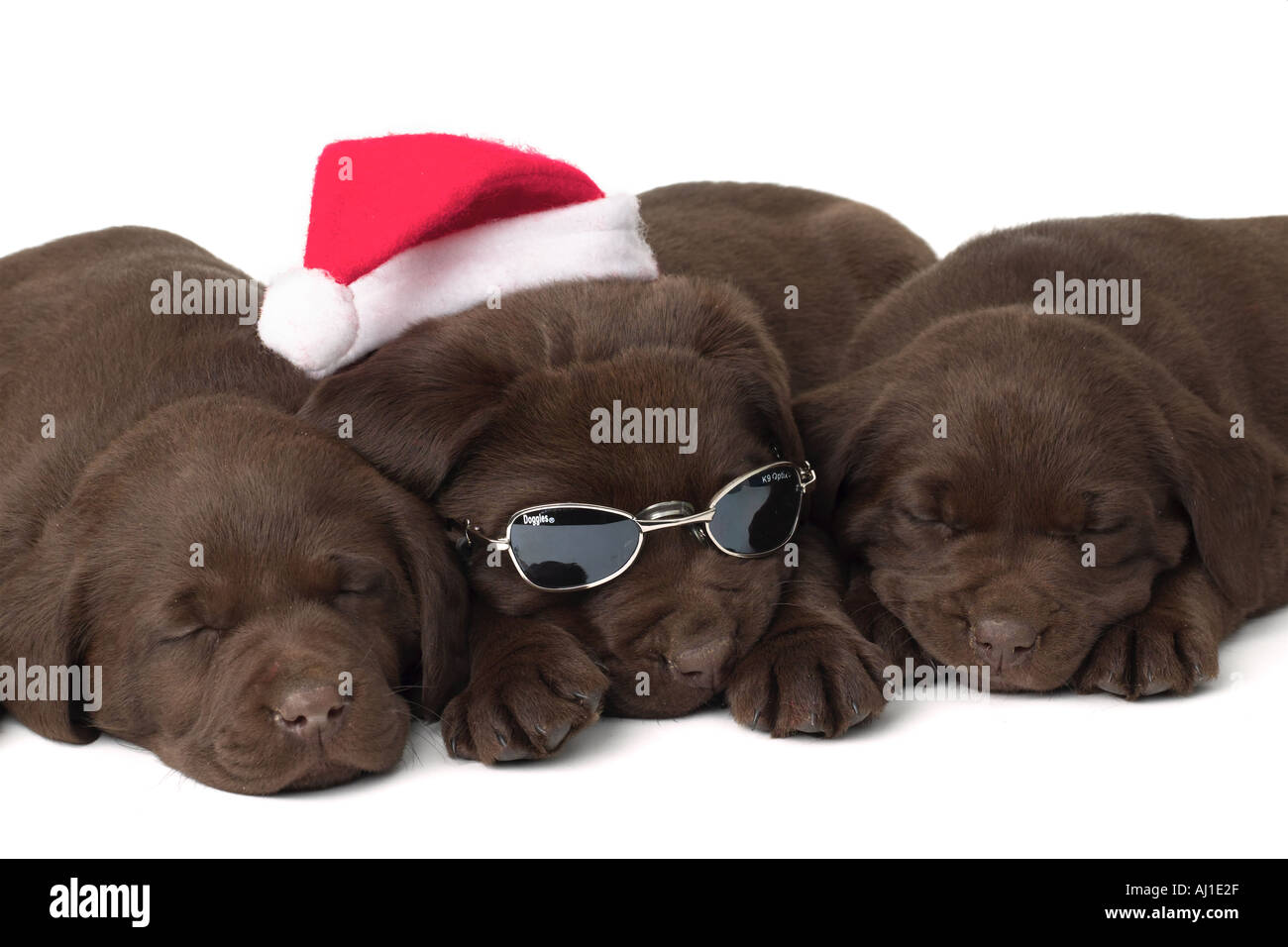 Chocolate Lab Christmas Puppies Sleeping Stock Photo Alamy